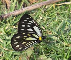 Metaporia agathon caphusa, Great Blackwing (Birdernaturalist) Tags: nepal butterfly pieridae richhoyer