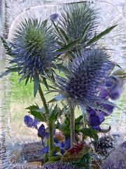 Frozen in Time (Anne Worner) Tags: flower floral petals purple bluebonnet encased stems icy spines wildflower eryngo spiney eryngiumleavenworthii inice parsleyfamily preservedintime anneworner