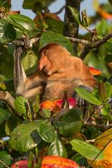 Proboscis monkey (Nasalis larvatus), Borneo (tik_tok) Tags: animal monkey asia wildlife sarawak malaysia borneo proboscismonkey bakonationalpark nasalislarvatus