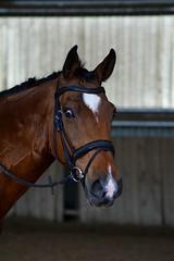 Kanabis (Laura_Photographie) Tags: horse cute beautiful cheval riding franais beau mignon selle manifique kanabis