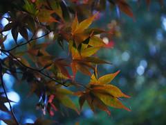 Late Day Sun (Sun Dogs & Daylilies) Tags: color nature leaves outdoors lumix prime maple bokeh panasonic 45mm ndfilter lateday mft panasoniclumix microfourthirds dmcg8x g8x