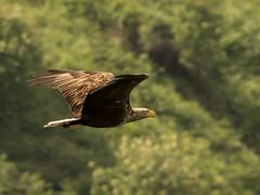 White-tailed Eagle (3) (neilblack754) Tags: red glenelg victor skye whitetailed eagle
