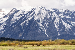 Wherever I may roam (jrlarson67) Tags: bear wild brown mountains animal landscape cub nationalpark nikon wildlife grand cubs grizzly teton d500 610