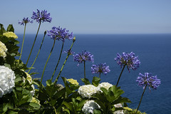 Looking Out to Sea (hippyczich) Tags: agapanthus hydrangea flowers sea coast saomiguel azores
