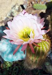 DeGrazia Gallery in the Sun's courtyard bloom! (DeGrazia Gallery in the Sun) Tags: arizona cactus ted flores flower architecture artist gallery desert artgallery tucson blossom az adobe bloom degrazia catalinas ettore nationalhistoricdistrict galleryinthesun
