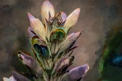 Acanto (seguicollar) Tags: imagencreativa photomanipulacin art arte artecreativo artedigital virginiasegu acanto hojas verde marron pink rosa green blue azul vegetacin planta vegetal
