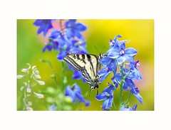 Playfulness (Krasne oci) Tags: flowers summer butterfly garden insect bokeh nectar photographicart delphinium swallowtail prettycolors flowerart artphotography softcolors 6769 beautifulphotos evabartos