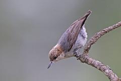 Brown-headed Nuthatch (Alan Gutsell) Tags: brown tree bird nature alan pine texas wildlife east hatch nut nuthatch brownheaded brownheadednuthatch texasbirds