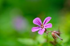 Exist (Dream Rebellion) Tags: plant flower macro green fleur field purple violet vert depth proxy macrophotographie