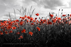 Poppy red... (Colin Hollywood Photography) Tags: nikon d810 1424mm