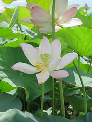 together (oneroadlucky) Tags: pink plant flower nature waterlily lotus