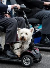 183/366 (Backfill)  Veterans Weekend, Weymouth -  - 366 Project 2 - 2016 (dorsetpeach) Tags: dog 365 weymouth 2016 366 veteransparade aphotoadayforayear 366project second365project