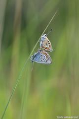 DN9A2809 (Josette Veltman) Tags: macro canon butterfly insect natuur bugs argus vlinder canon100mmmacro natuurmonumenten plebejusargus plebejus canon100mm28 macrofotografie heideblauwtjeheideblauwtjedopheide