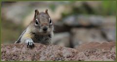 Golden-mantledGroundSquirrel_6D_1123 (CrzyCnuk) Tags: canada canon squirrel wildlife alberta groundsquirrel goldenmantledgroundsquirrel canon6d