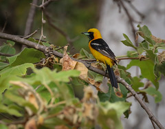 Hooded Oriole with his little friend  Jiminy Cricket   .... Temescal Canyon 062 (pekabo90401) Tags: icteruscucullatus oriolemasqu bolserocuculado bolseroencapuchado calandriazapotera jaranjero southerncaliforniabirds birdwatching birdwatchinglosangeles temescalcanyon birdsofpacificpalisades hoodedoriole oriole pekabo90401 pacificpalisadesbirds canon camaraderie canon80d canyonmonkey lightroom yellowbird friendship hesgotabugasklouforthebugid lunch feedthebabies newgear wesen