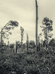 Devastation (enneafive) Tags: devastation poplar ruined storm meadow trees broken olympus omd em5 berlingen limburg belgie belgique belgium monochrome