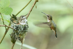 Rufous hummingbird (Selasphorus rufus) (Tony Varela Photography) Tags: photographertonyvarela selasphorusrufus selasphorusrufusnest nest rufoushummingbird rufoushummingbirdjuvenile rufoushummingbirdnest canon
