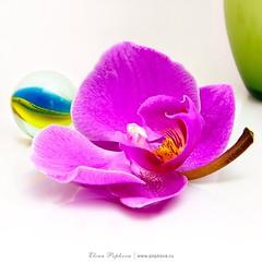 #rsa_mystery #allshots_#ig_gods#insta_crew #ig_masterpiece #ig_merida#interesting_image#ig_allaroundyou #instaghesboro #tv_lifestyle#worldwide_shot#exklusive_shot #shotaward #ig_nizza #ig_sergipe#colors_hub #ig_sergipe#insta_international  #tv_living#natu (elenapopkova) Tags: orchid stillife orchidea  hightkey