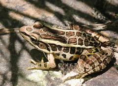 Leopard Frog at Kittatinny (Tombo Pixels) Tags: newjersey nj frog leopard leopardfrog twb1 kittatinnyvalleystatepark kvsp steammill160090