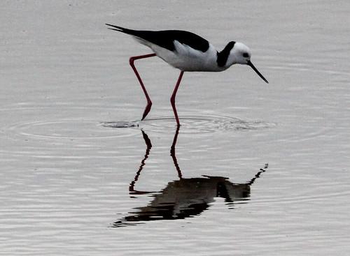 Himantopus himantopus leucocephalus (Black-winged Stilt)