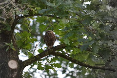 Steenuil / Little owl / Athene noctua (heidiii78) Tags: new vogels