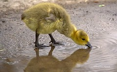 THIRSTY GOSLING (Lisa Plymell) Tags: reflection nature water yellow wildlife fav20 goose kansascity gosling fav30 fav10 2013 mygearandme mygearandmepremium mygearandmebronze mygearandmesilver mygearandmegold mygearandmeplatinum mygearandmediamond nikond3100 vpu1 rememberthatmomentlevel1 rememberthatmomentlevel2 rememberthatmomentlevel3 vigilantphotographersunite vpu2 vpu3 vpu4 vpu5 vpu6 vpu7