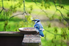 Blue jay (forgetmenot777) Tags: blue birds spring birdfeeder bluejay bluebird