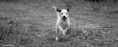 Run for ... (wallawalla_7) Tags: bw dog white black nature smile cane canon puppy awesome run bianco nero animali cucciolo