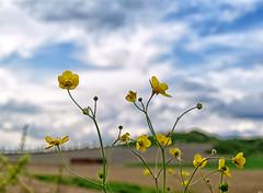 Tilt shift (Irene TP) Tags: flowers sky yellow giallo cielo fiori tiltshift