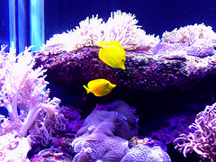 Tropical Fish (Natalia Robaich) Tags: fish coral angel aquarium angelfish yellowfish