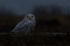 Snowy Owl - Ghost in the Darkness (www.jamiedouglasphotography.com) Tags: canada canon bay snowy columbia 7d owl british f56 boundary 400mm iso1250 jamiedouglasphotography