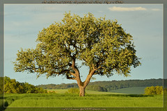 Poirier du Pays d'Othe / Pear tree of Pays d'Othe (lgDAMSphoto) Tags: sunset france tree apple field forest landscape evening countryside spring champagne country ardennes champs may mai soirée paysage soir campagne arbre pays printemps forêt pommier autofocus aube othe soleilcouchant nikkor70300 paysdothe nikond7000 forêtdothe