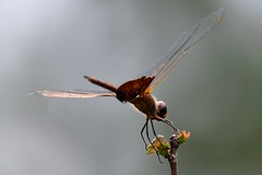 Carolina Saddlebags touch and go --- II (Zoom Lens) Tags: autumn summer macro nature beautiful beauty closeup insect fly wings nikon dragonflies dragonfly flight wing fast happiness insects micro strength activity predator winged flier courage odonata anisoptera purewater swiftness eyepoker epiprocta earcutter eyesnatcher johnrussellakazoomlens multiwinged highlymaneuverable devilsdarningneedle copyrightbyjohnrussellallrightsreserved