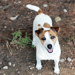 IMG_3232 Square (nmastoras) Tags: dog pets cute dogs animals jack jrt russell terrier jackrussell jackrussellterrier
