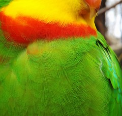 Amazing bright colors. (Snwy Owl) Tags: red green colors rouge amazing bright feathers parrot vert plumes