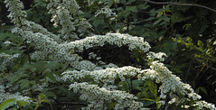 Spirea (cjh44) Tags: ontario home garden bush kingston spirea