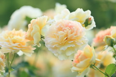 """English roses. モリニュー"""" Molineux"""" (cate♪) Tags: flowers rose yellow bokeh ngc 新宿御苑 東京 薔薇 softtone 5wonderwall"""