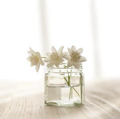 Anemone nemorosa 'Vestal' (mamako7070) Tags: plants white flower green leaves leaf spring bed explore flowerbed anemone wildflower vestal nemorosa anemonepseudoaltaica       anemonenemorosavestal     img5419p