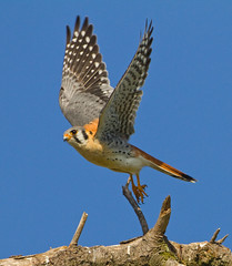 KESTREL (sea25bill) Tags: california morning blue sky male flight falcon americankestrel