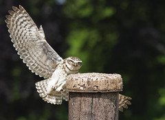 Owl Landing (ORIONSM) Tags: wings post landing raptor owl swoop tawny newent icbp