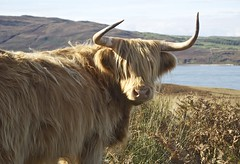 Welcome to Jura (VisitScotland) Tags: scotland cow cattle argyll highland jura isles coo heilan visitscotland