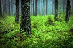 { Solstice Glow } (Boreal Bird) Tags: trees summer mist green fog solstice fairies hawkridge hss sliderssunday fairieswhispering maryamerman