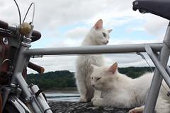 Chats (cycledefrance) Tags: cat vintage jo loire velo cyclotourisme anjou randonneuse routens