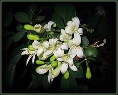 . Murraya paniculata . (Foto Svetlana) Tags: flowers macro processing  pottedflowers  murrayapaniculata