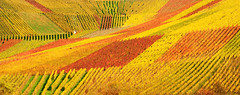 Autum Vineyard Panorama (Habub3) Tags: travel autumn red holiday plant green rot nature yellow germany landscape deutschland vineyard search reisen flora nikon europa europe wine urlaub herbst natur gelb grapes grün landschaft vacanze wein weinberg d300 beutelsbach rems serach 2013 remstal weinstadt habub3