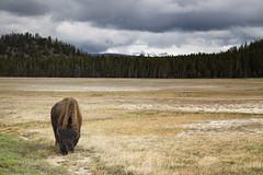 Yellowstone buffalo (Erika Montoya) Tags: green grass animal clouds canon landscape nationalpark buffalo feeding eating horizon horns land yellowstone majestic treens canon6d erikamontoyaphotography
