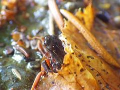 Junge Erdkröte (Bufo bufo) (christa.rohrbach) Tags: amphibien amphibia amphibians amphibies anfibi anura erdkröte crapaudcommun crapaud commun rospocomune rospo comune commontoad common toad bufo kröte insitu inthewild