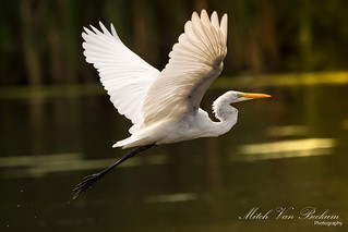 Great Egret In Flight (Ardea alba)