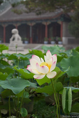 (liangjinjian) Tags: china summer flower geotagged lotus sony beijing alpha haidian chn a55 2013 geo:lat=3999908000 geo:lon=11630571333