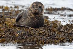 Portgordon, moray, Scotland. (Wally Llama) Tags: seaweed seal portgordon canon1d 2xtc ef300mmf28lisiiusm